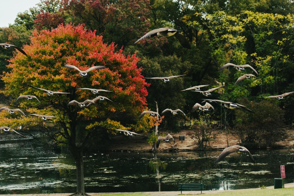 Richmond Fall Autumn Geese
